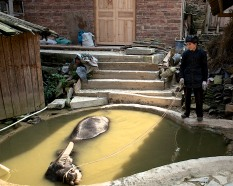 In Yingtan, a man lets his buffalo soak in the small pool behind the drum tower.