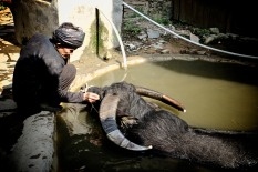 A man wipes the eyes of his water buffalo before returning it to the rice field.