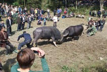 Happy on rice wine, the water buffalo owners work hard to prove their bulls are tough competitors.