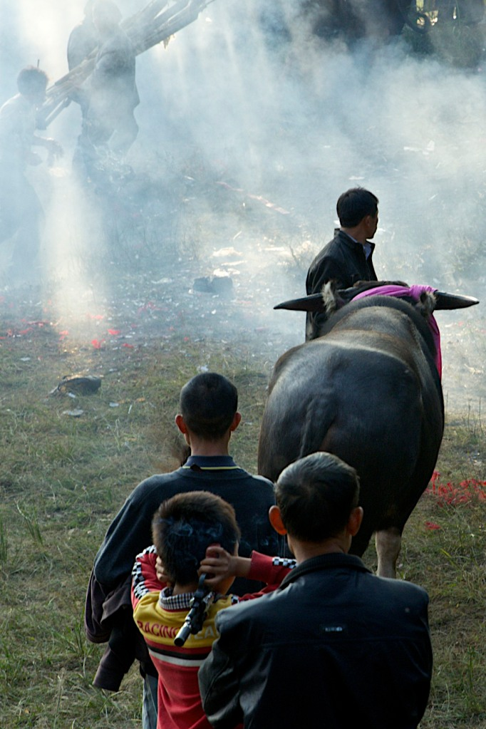 Firecrackers explode around the water buffalo before each fight as an offering to the ancestral spirits.