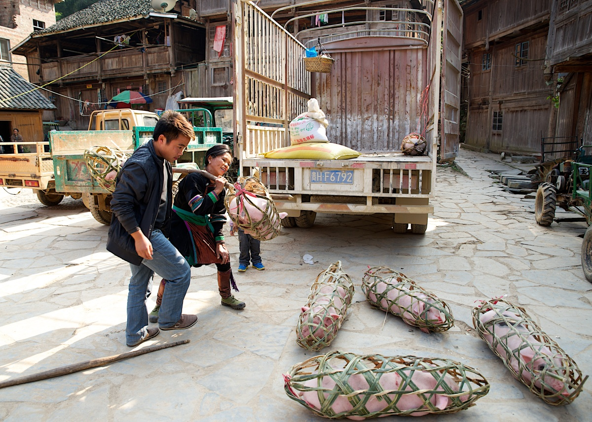 In southwestern China, a family prepares to bring home the bacon.