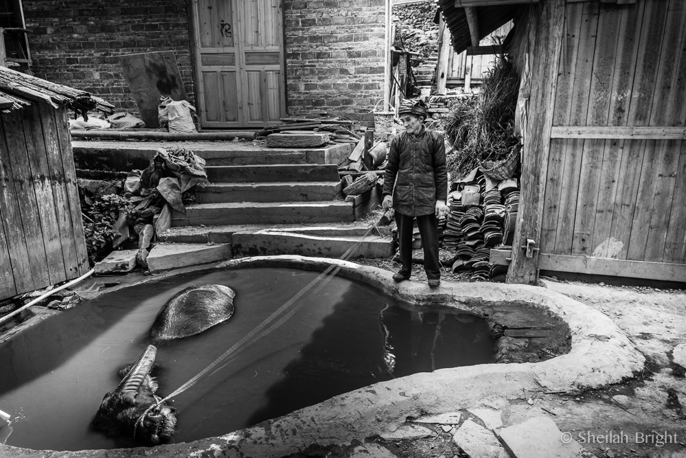 In southwestern China, a villager treats his water buffalo to an afternoon refreshment.