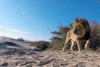 Photo credit:Desert Lion Conservation Project