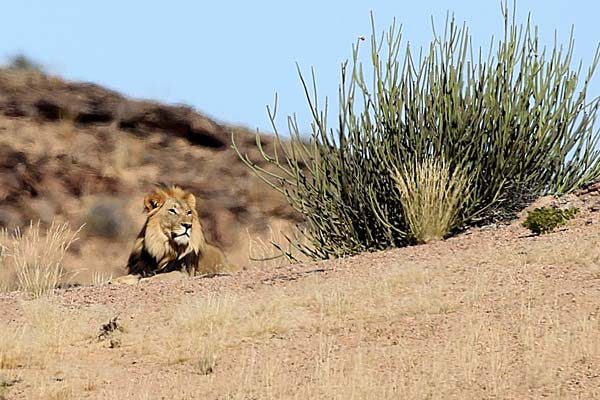 Photo credit: Desert Lion Conservation project